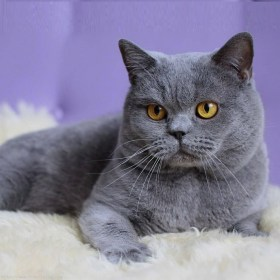 Blue-British-Shorthair-Cat-Sitting-On-Sofa