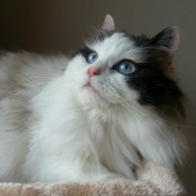 White-And-Black-Ragamuffin-Cat-With-Blue-Eyes
